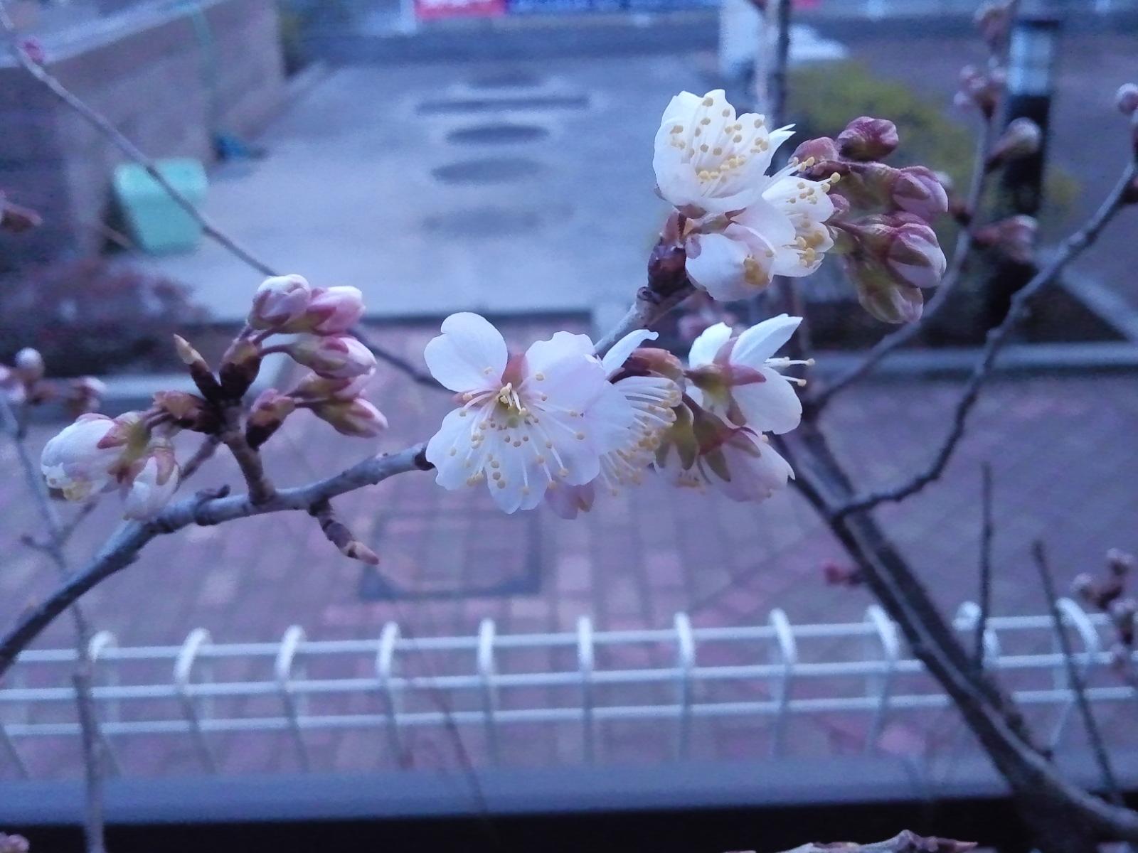 「さくらんぼ」の花画像