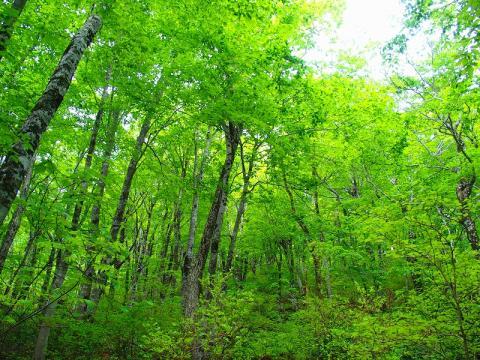 ぶなの林画像